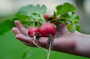 Growing Radishes in the Winter with your solar gem greenhouse