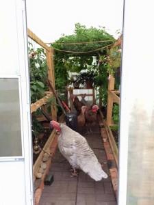 Turkeys in the Greenhouse