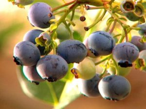 http://www.hgtv.com/design/outdoor-design/landscaping-and-hardscaping/how-and-when-to-prune-blueberry-bushes